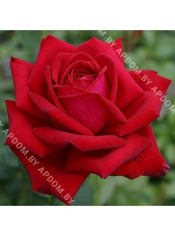 Роза Бургунд (Burgund)