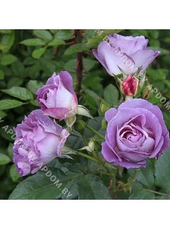 Роза Виолетт Парфюм Клаймбинг (Violette Parfumee Cl)