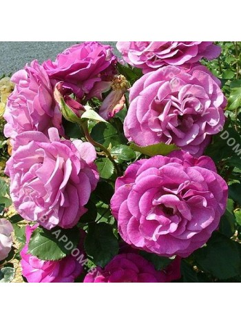Роза Виолетт Парфюм (Violette Parfumee)
