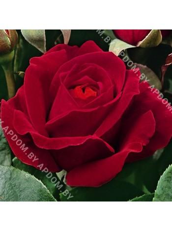 Роза Дам де Кюр (Dame de Coeur)