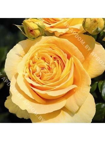Роза Кендллайт (Rosa Candlelight)