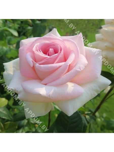Роза Коперник
