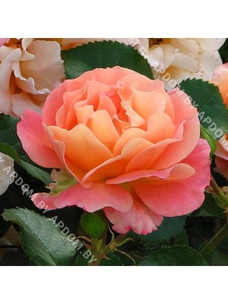 Роза Кубана