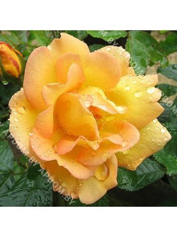 Роза Маиголд (Maigold)