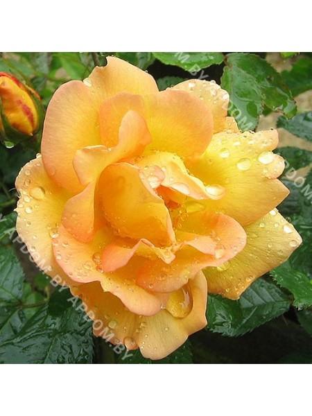 Роза Маиголд