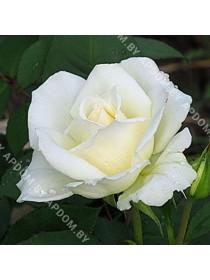 Роза Маунт Шаста