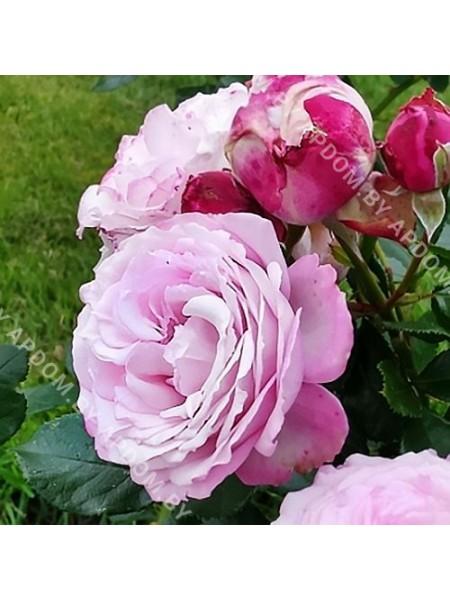 Роза Розенфасцинацион