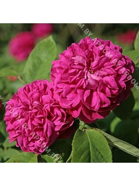 Роза Роуз де Рес