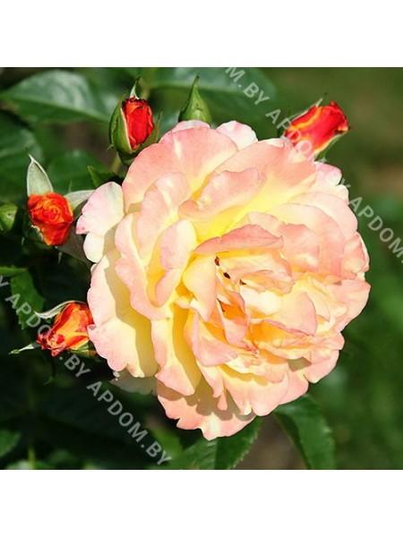 Роза Ругельда
