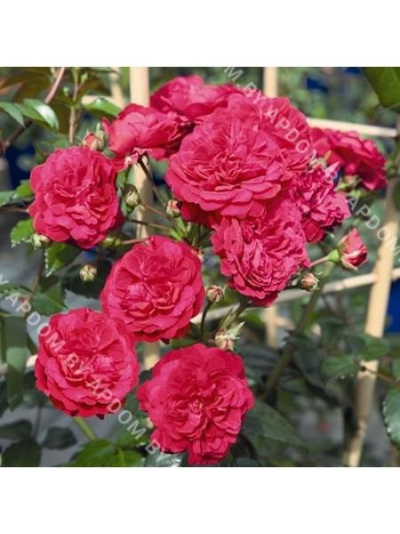 Роза Старлет Лола