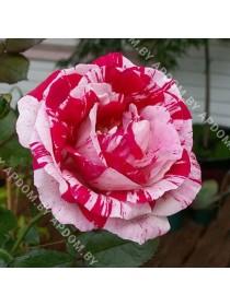Роза Стрип