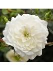 Роза Уайт Кавер (White Cover)