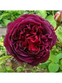 Роза Уильям Шекспир