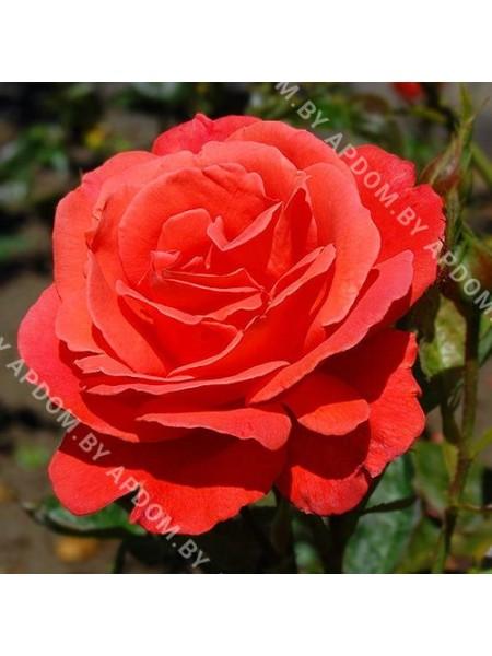 Роза Флюорессан