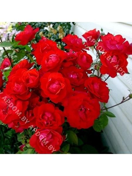 Роза Фок де Табара