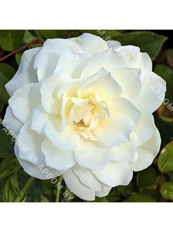 Роза Шневитхен (Schneewittchen)