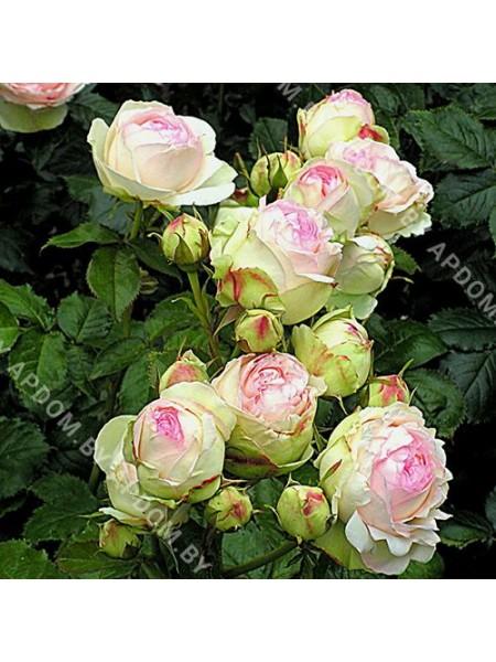 Роза Эден