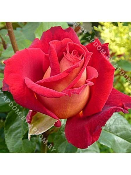 Роза Биколет