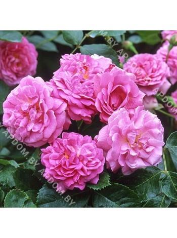 Роза Лавендер Лесси (Lavender Lassie)