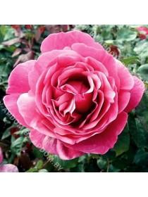 Роза Лин Рено