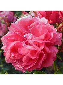 Роза Моин Моин