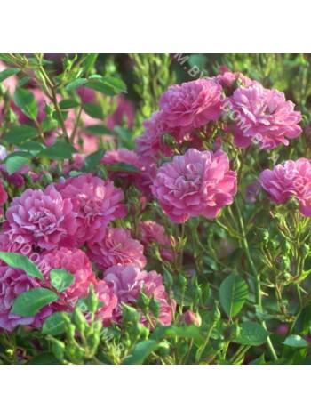 Роза Пепл Рейн (Purple Rain)