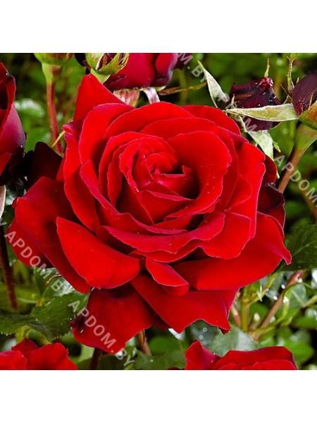 Роза Сине Нуар