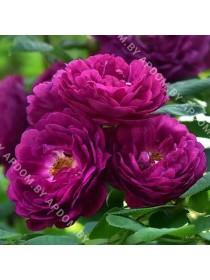 Роза Джипси Бой