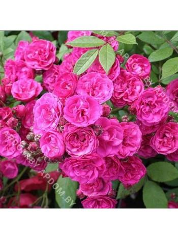 Роза Динки (Dinky)