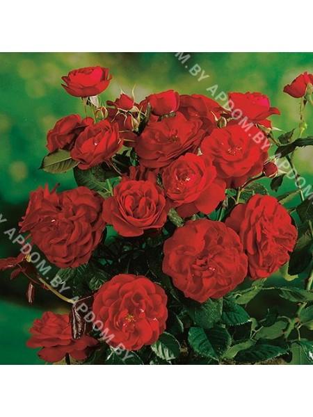 Роза Карл Филипп
