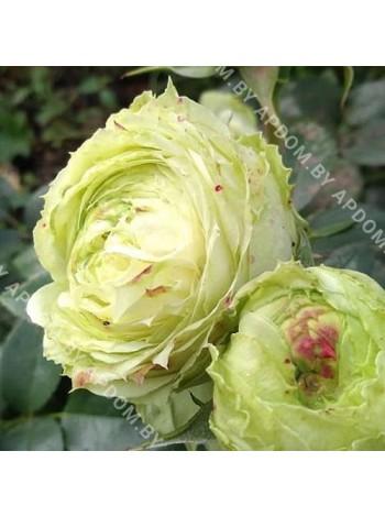 Роза Лемон Рококо (Lemon Rokoko)