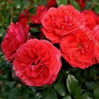 Роза Черри Гёл