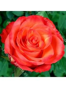 Роза Шато Жискур