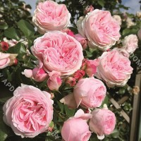 Роза Шёне Маид
