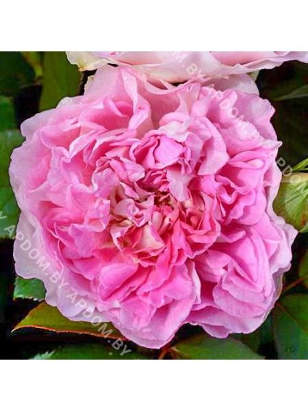 Роза Борнео Одор