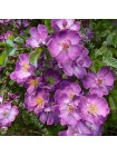 Роза Файльхенблау (Veilchenblau)