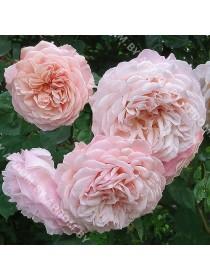Роза Нью Дримс