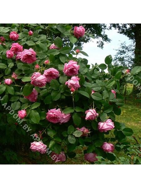 Роза Радлинец