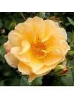 Роза Седана (Sedana)
