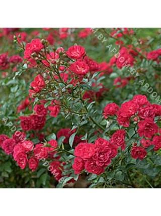 Роза Фэри Кинг