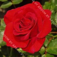 Роза Аллотрия