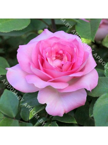 Роза Беверли (Rosa Beverly)