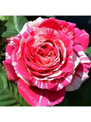 Роза Бест Импрешн (Rosa Best Impression)
