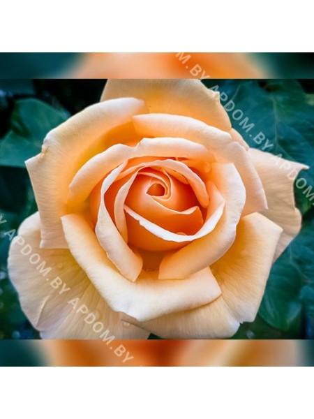 Роза Валенсия