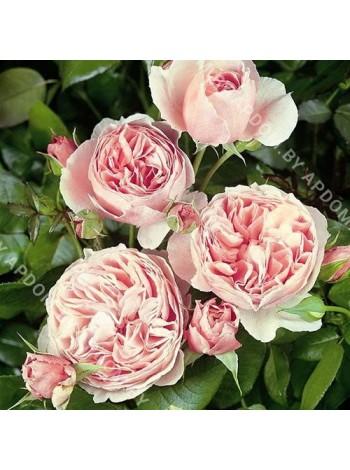 Роза Гартентрауме (Rosa Gartentraume)