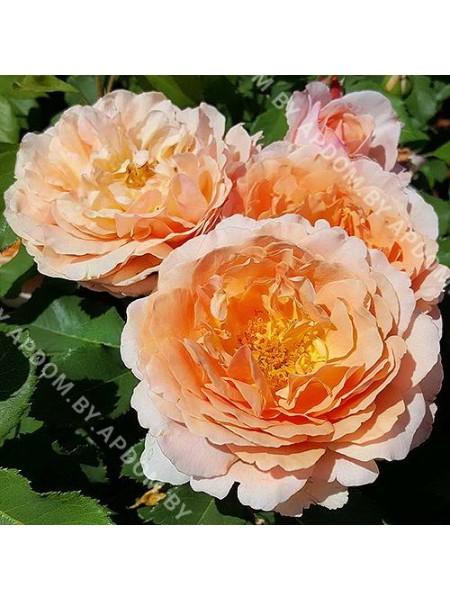 Роза Зонненвельт