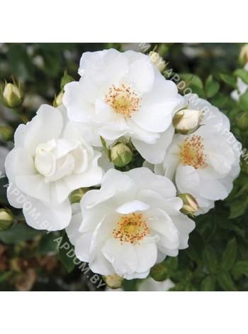 Роза Инносенсия (Rosa Innocencia)