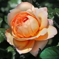 Роза Капри