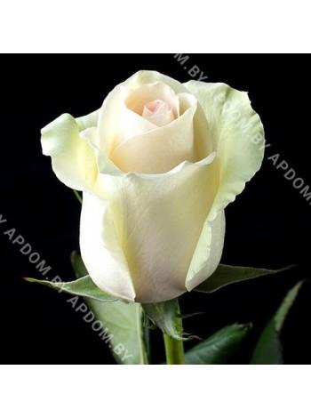 Роза Ла Перла (Rosa La Perla)