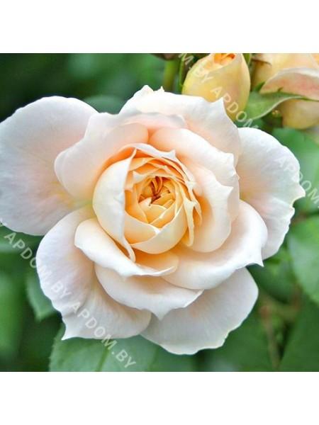 Роза Лионс Розе